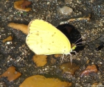 Fountain Street Clouded Sulphur Butterfly