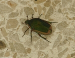 Green June Beetle, Fig Beetle (Cotinis mutabilis)