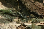 Hot Springs Mountain Trail Five Lined Skink