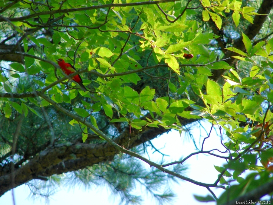 Hot Springs Mountain Trail Juvenile Male Summer Tanager