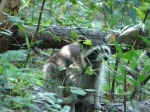 Hot Springs Mountain Trail Raccoon