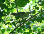 Lower Dogwood Trail Vireo