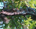 Short Cut Trail Mating Squirrels