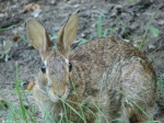 Tufa Terrace Eastern Cottontail