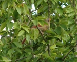 Carriage Road Female Cardinal