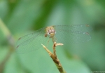 Hot Springs Mountain Trail Dragonfly