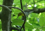Lower Dogwood Trail Blue Headed Vireo