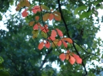 Lower Dogwood Trail Glowing Coral Leaves
