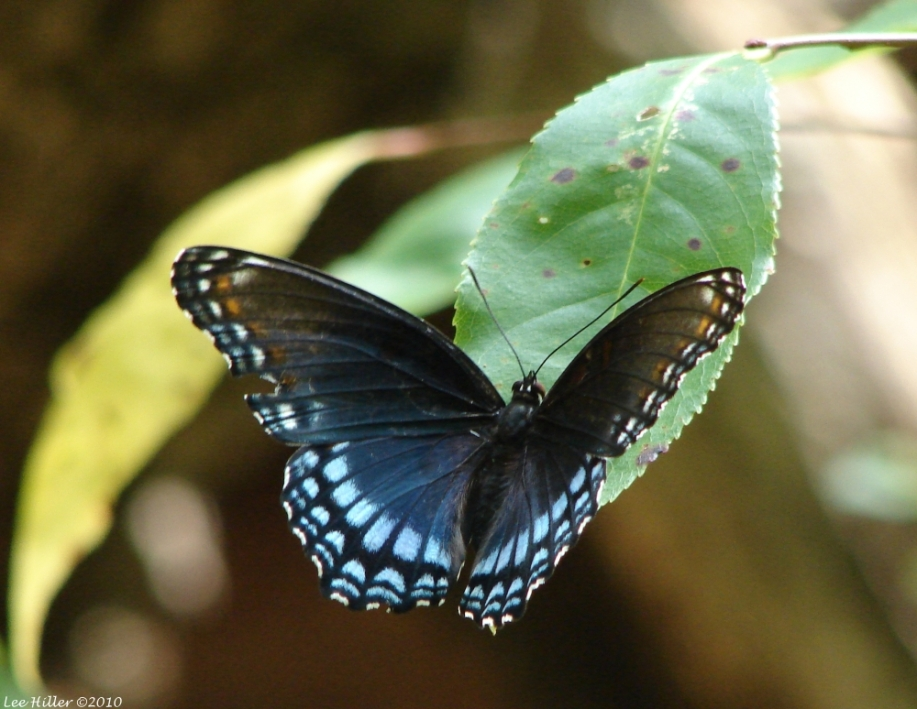 Lower Dogwood Trail Red Spotted Purple Butterfly