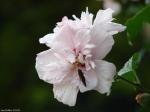 Arlington Lawn Pink Peonies