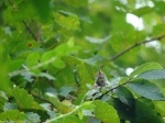 Hot Springs Mountain Trail Juvenile Carolina Wren