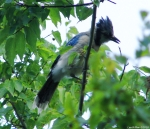 Tufa Terrace Trail Juvenile Blue Jay
