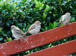Arlington Lawn Female Sparrows