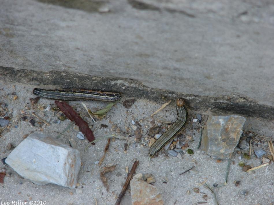 Dead Chief Trail Striped Garden Caterpillar