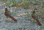 Hot Springs Mountain Trail Juvenile Cardinals