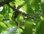Promenade Juvenile Female Cardinal