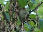 Tufa Terrace Female House Sparrow