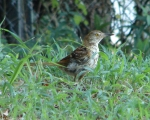 Carriage Road Juvenile Brown Thrasher
