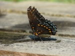 HS National Park Fountain Red Spotted Purple Butterfly