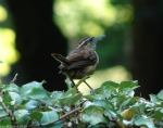 Tufa Terrace Trail Carolina Wren
