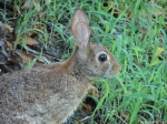 Tufa Terrace Trail Female Eastern Cottontail