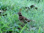 Tufa Terrace Trail Juvenile Brown Thrasher