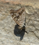 Hot Springs National Park, AR Fountain Hackberry Emperor Butterfly
