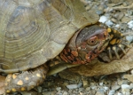 Lower Dogwood Trail Male Box Turtle