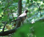 Gulpha Gorge Trail Robin Singing