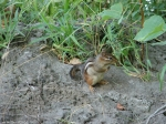 Tufa Terrace Trail Chipmunk
