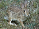 Tufa Terrace Trail Eastern Cottontail