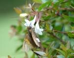 Arlington Lawn Silver Spotted Skipper Butterfly