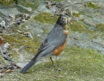 Hot Spring Mountain Road Robin