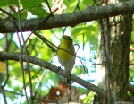 Hot Springs Mountain Trail Yellow Throated Vireo