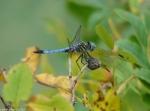 Tufa Terrace Rose Hips Blue Dragonfly