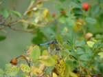 Tufa Terrace Rose Hips Blue Dragonfly