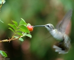 Tufa Terrace Trail Rose Hips Hummingbird