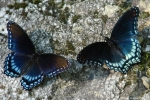 Floral Trail Red Spotted Purple Butterflies