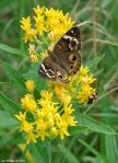 Promenade Butterfly Weed Common Buckeye Butterfly