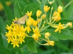 Promenade Butterfly Weed Delaware Skipper Butterfly