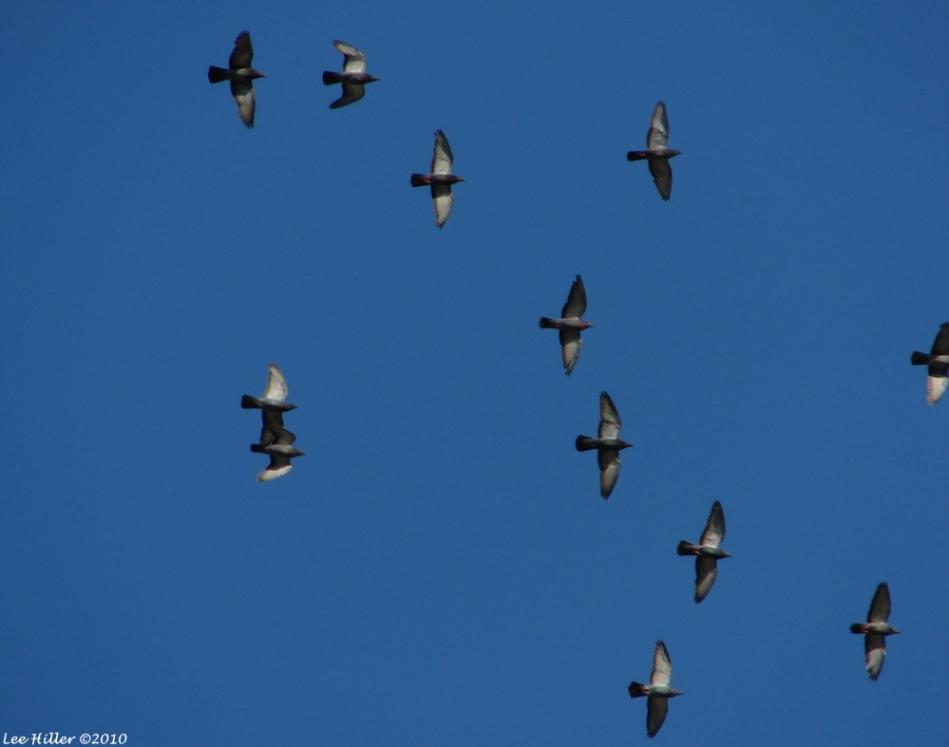 Promenade Racing Pigeons