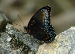 Floral Trail Red Spotted Purple Butterfly