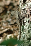 Goat Rock Trail Prairie Lizard