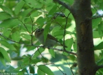 Hot Springs Mountain Trail Vireo