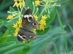 HSNP Promenade Common Buckeye Butterfly
