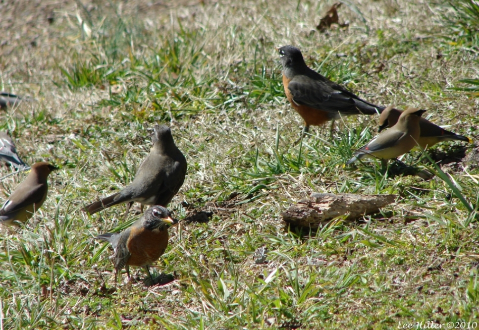 Mixed Species Foraging Flock Robins Cedar Waxwings