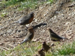 Mixed Species Foraging Flock Robins Cedar Waxwings