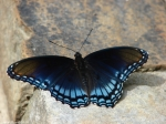Fountain Red Spotted Purple Butterfly