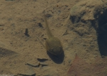 DeSoto Park Gulpha Creek Tadpoles