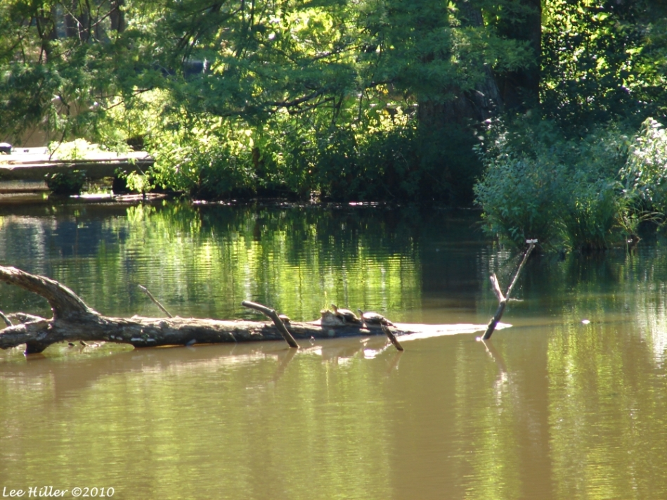 HSNP Ricks Pond Basking Turtles